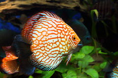 Symphysodon discus Royalty Free Stock Image