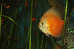 Symphysodon discus. From cichlidae family in a fishtank stock image