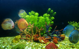 Symphysodon discus and corals in an aquarium Royalty Free Stock Photos