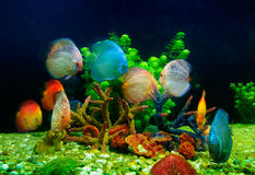 Symphysodon discus and corals in an aquarium Stock Photos