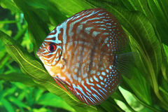 Symphysodon discus fish Stock Photos