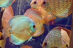 Symphysodon discus  fish. In an aquarium Stock Photography