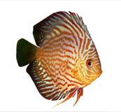 Symphysodon Discus im Aquarium Stockfotos