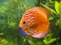 Symphysodon discus underwater Royalty Free Stock Images