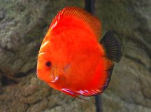 Symphysodon Discusfische stockfotos