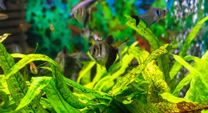 Symphysodon diskus i ett akvarium Royaltyfria Bilder