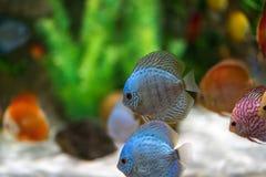 Symphysodon diskusfisk i ett akvarium Royaltyfri Bild