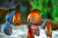 Symphysodon diskusfisk i ett akvarium Royaltyfria Foton