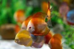 Symphysodon diskusfisk i ett akvarium Royaltyfria Bilder
