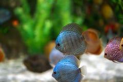 Symphysodon diskusfisk i ett akvarium Royaltyfri Foto