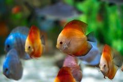 Symphysodon diskusfisk i ett akvarium Arkivbilder
