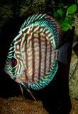 Symphysodonaequifasciatus Royalty-vrije Stock Foto's