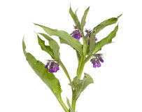 Symphytum officinale Stock Photos