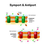 Symport and antiport. cell membrane transport systems Royalty Free Stock Image