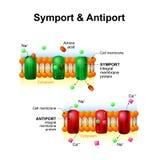 Symport och antiport system för transport för cellmembran vektor illustrationer