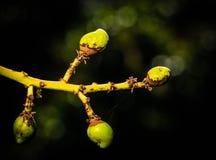 Symptome auf der Mangofrucht verursacht durch Scirtothrips-dorsalis lizenzfreies stockbild