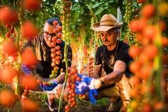 Syna i tata rolnictwa pracownicy cheking i zbierają żniwo czereśniowy pomidor w szklarni Rodzinny interes Zdjęcia Royalty Free