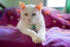 synad blå katt Arkivfoton