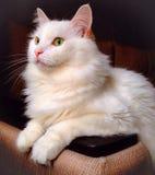 synad blå katt Royaltyfria Bilder
