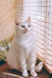 synad blå katt arkivbilder