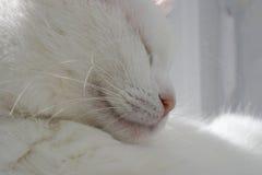 synad blå katt Arkivbild
