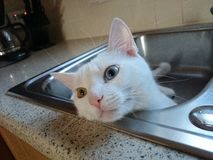 synad blå katt Royaltyfri Foto