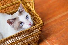 synad blå katt Royaltyfri Bild