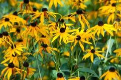 synad black blommar susan Royaltyfri Fotografi