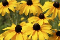 synad black blommar susan Royaltyfri Bild
