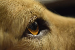 synad brun hund royaltyfria foton