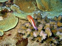 synad hawkfishcirkel Royaltyfri Bild