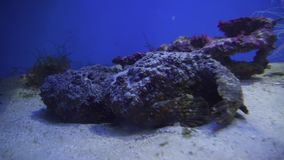 Synanceia verrucosa is fish species known as the stonefish or Oclap stock footage video. Synanceia verrucosa is a fish species known as the stonefish or Oclap stock footage