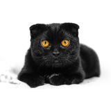 Synar den allvarliga svarta katten för närbilden med guling i mörker Framsidasvart Fotografering för Bildbyråer