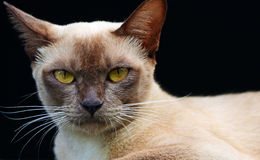 Synar den guld- isolerade Burmese katten för slutet upp vänder mot & head Fotografering för Bildbyråer
