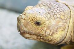 Synar uttryck av sköldpaddan Arkivfoton