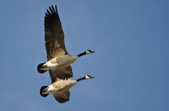 Synchronisierte fliegende Demonstration durch ein Paar Kanada-Gänse Lizenzfreies Stockfoto