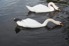 Synchronisierte Schwimmen Stockbild