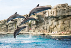 Synchronized Dolphins Stock Images