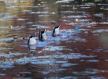 Synchronized Ducks Feeding. Three male mallards feeding in unison Stock Photo