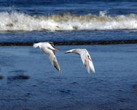 Synchronized Flight. Royal Terns in synchronized flight along the coast of North Carolina Royalty Free Stock Images