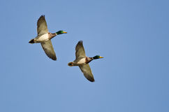 Synchronized Flying Demonstrated by Two Mallard Ducks. Synchronized Flying Demonstrated by Two Male Mallard Ducks Royalty Free Stock Photo