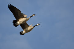 Synchronized Flying Demonstration by a Pair of Canada Geese Stock Image