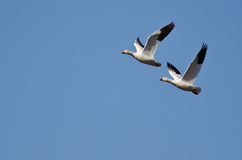 Synchronized Flying Demonstration by a Pair of Snow Geese Stock Image