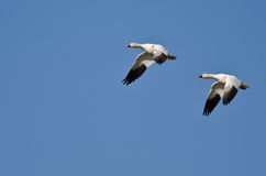 Synchronized Flying Demonstration by a Pair of Snow Geese Royalty Free Stock Photography
