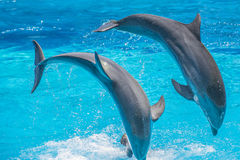 Synchronized jumps, dolphin show Royalty Free Stock Photos