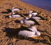 Synchronized resting!. Pelicans are in synch as they all take a rest as the evening draws in Royalty Free Stock Image