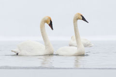 Synchronized swans swimming. In lake Stock Image