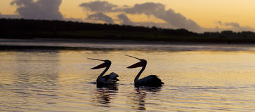 Synchronized Swimming. Two pelicans putting on a performance at sunset Stock Images