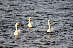 Synchronized swimming of three Swans royalty free stock photography
