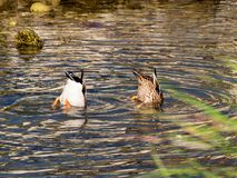 Synchronized swimming of two nice ducks royalty free stock photography